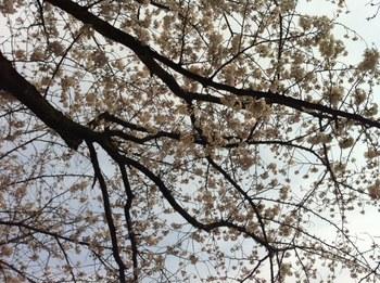 小渕桜.jpg